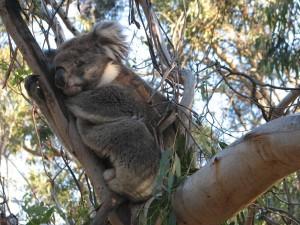 Koala en la Isla Phillip. Autor edwin.11 de Flickr.