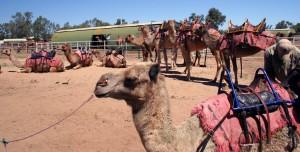 La granja de camellos. Autor Gillian in Brussels de Flickr.