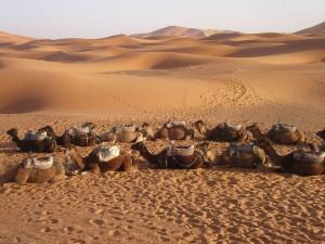 Camellos en Ouarzazate. Autor Shawn Allen de Flickr.
